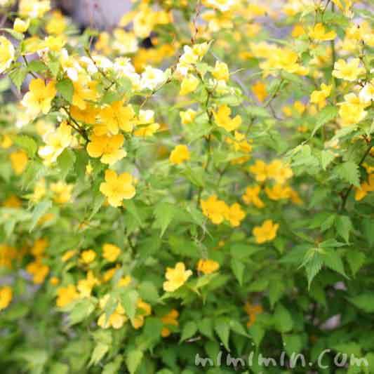 ヤマブキの花の写真