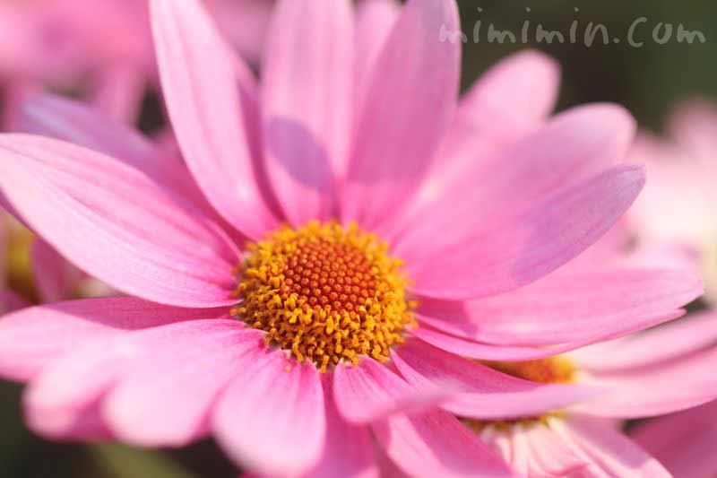 ピンクのマーガレットの花