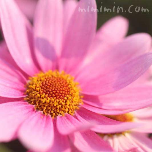 マーガレットの花言葉の写真