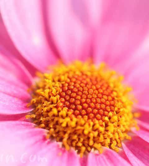 お散歩フォト・ピンク色のマーガレット(花の写真・花言葉)