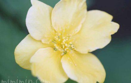 山吹の花の写真