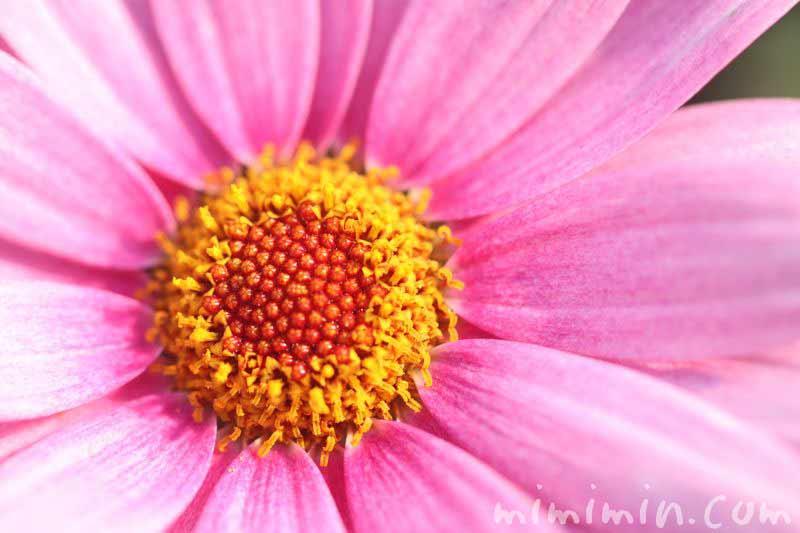 マーガレットの花 ピンクの画像