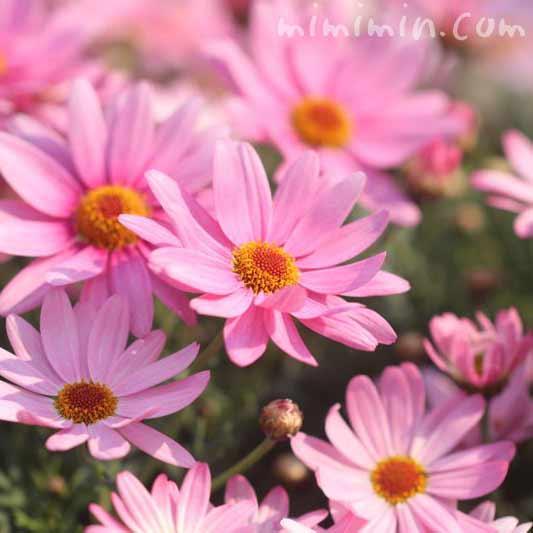 ピンクのマーガレットの花言葉の写真