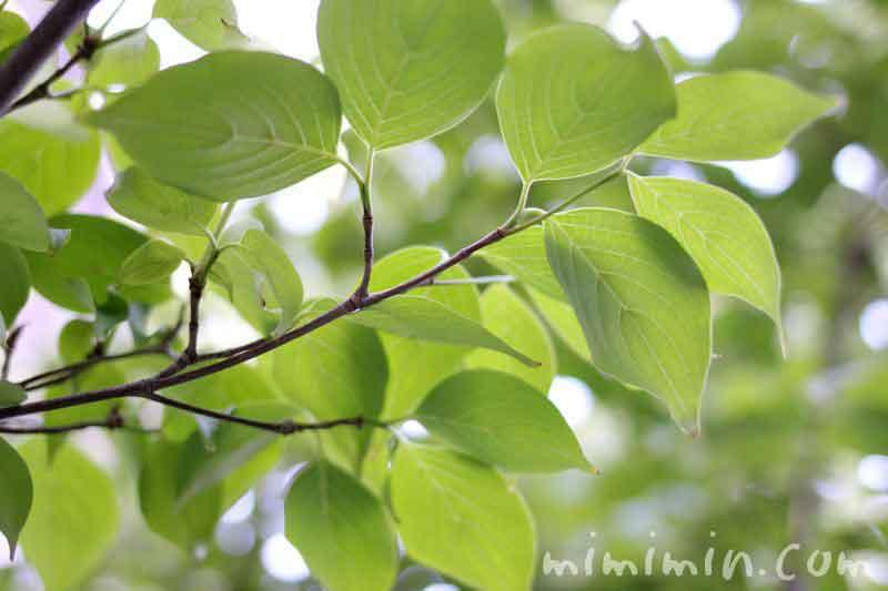 ヤマボウシの木の画像