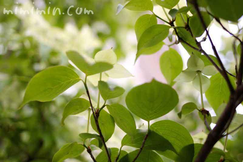 ヤマボウシの葉の写真