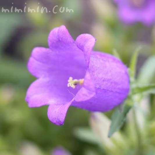 カンパニュラの花の写真