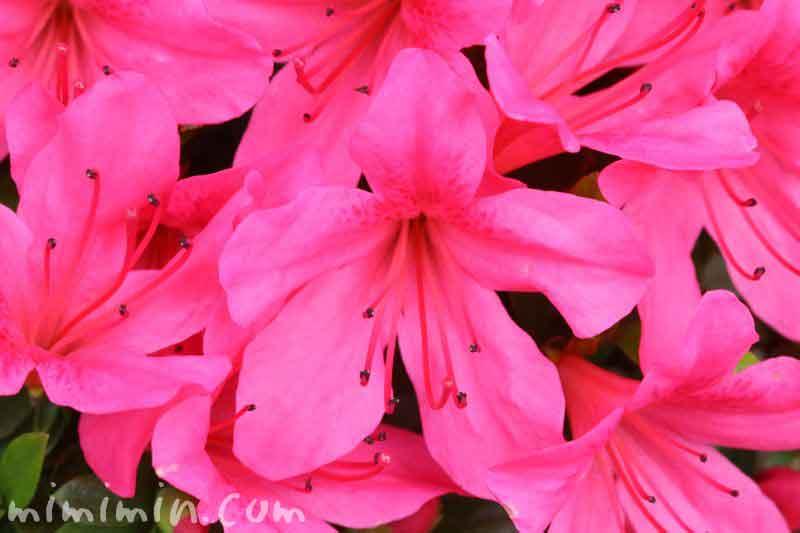 サツキの花・ピンクの写真