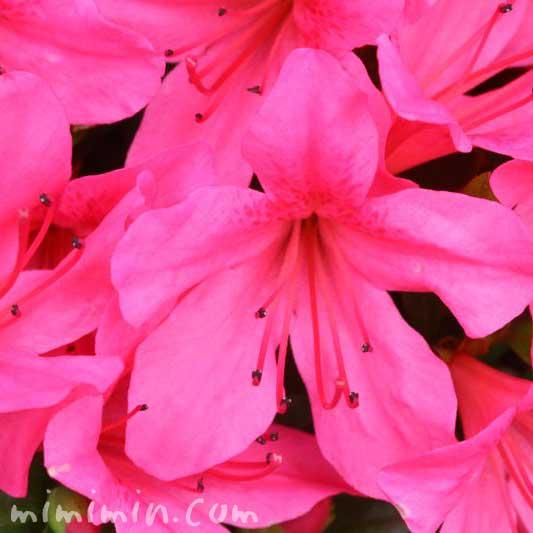 サツキ・ピンクの画像