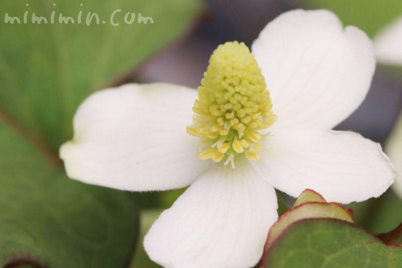 ドクダミの花言葉の画像