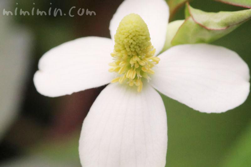 ドクダミの誕生花の写真