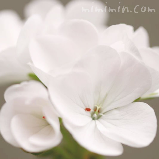 geranium-pic