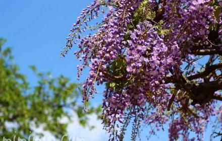 藤の花の写真