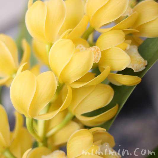 シンビジウムの花の写真