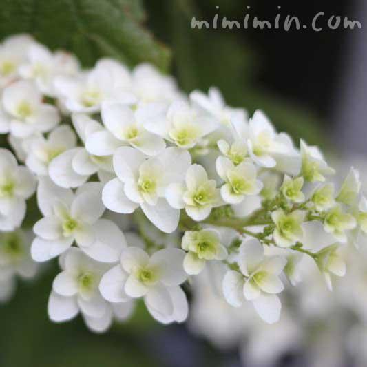 カシワバアジサイ(柏葉紫陽花)の画像