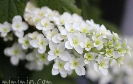 カシワバアジサイの花の写真