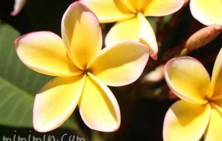 プルメリアの花の写真
