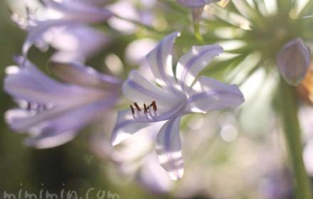 薄青紫のアガパンサスの花の画像