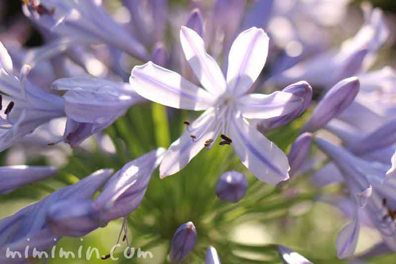 薄青紫色のアガパンサスの花の写真
