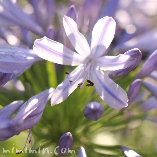 アガパンサス・薄青紫の画像