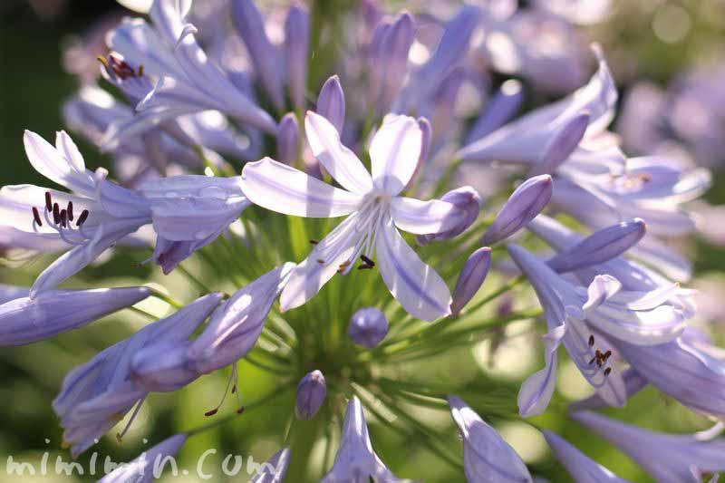 薄青紫色のアガパンサスの画像