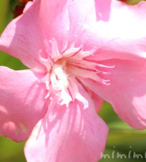 キョウチクトウの花言葉・名前の由来・誕生花