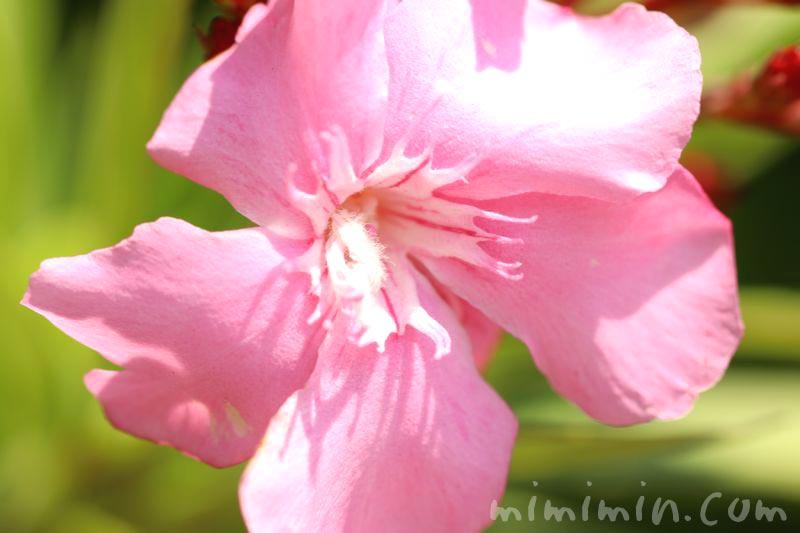 夾竹桃・ピンクの写真