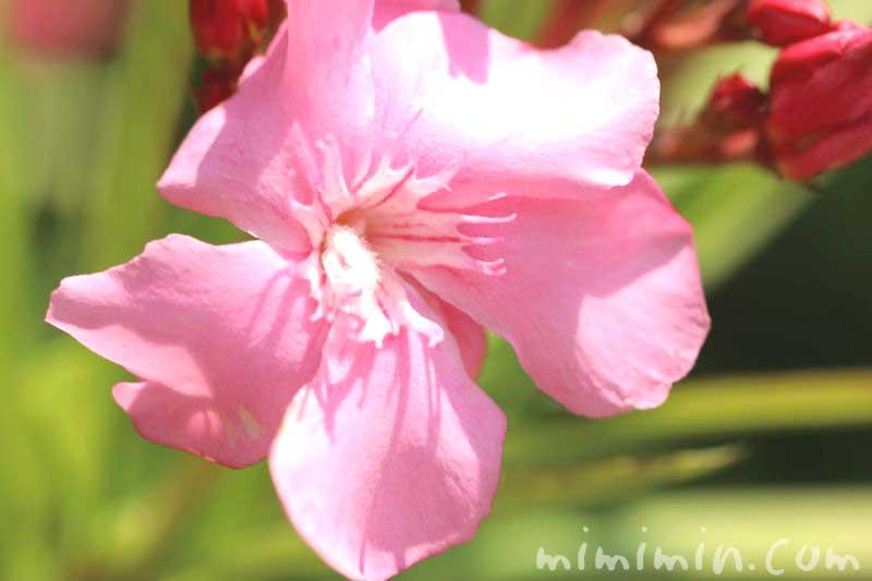 キョウチクトウの花・ピンク色の写真