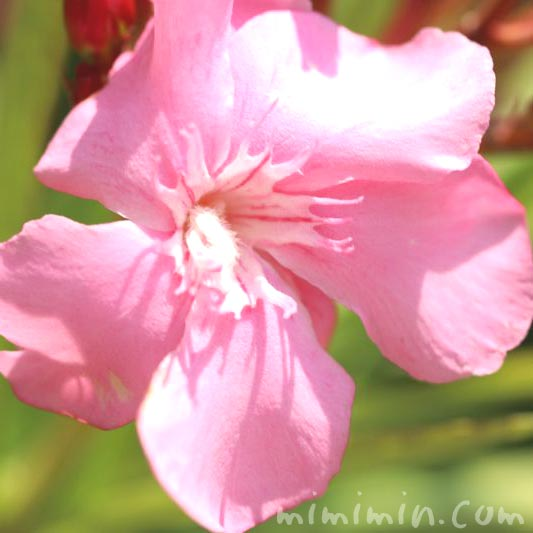 キョウチクトウ・ピンクの画像