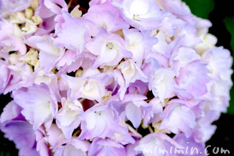 あじさいの花言葉の画像