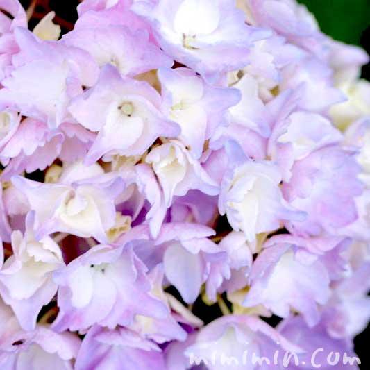薄紫色のあじさいの花