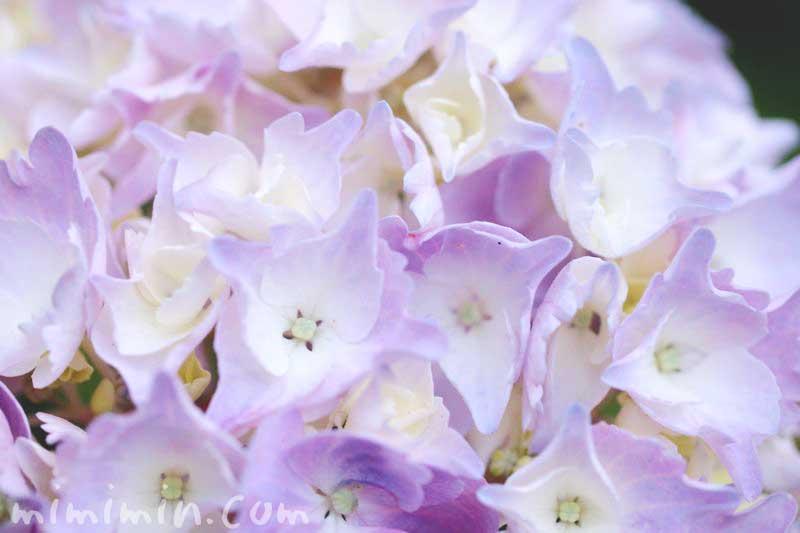 八仙花の写真