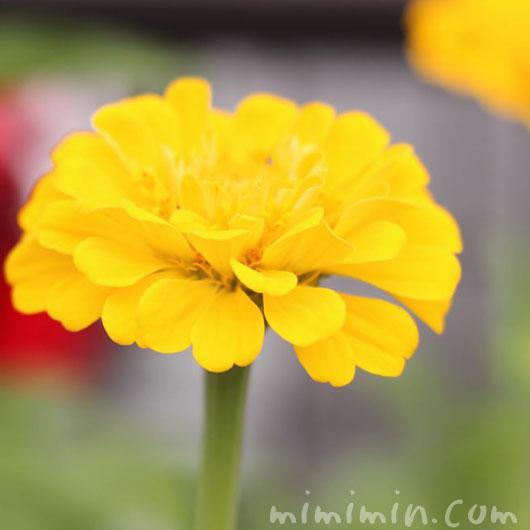 百日草の花の写真