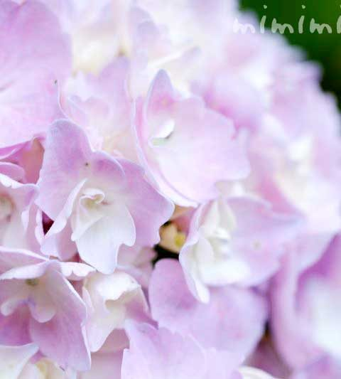あじさい(紫陽花)|花の写真・別名