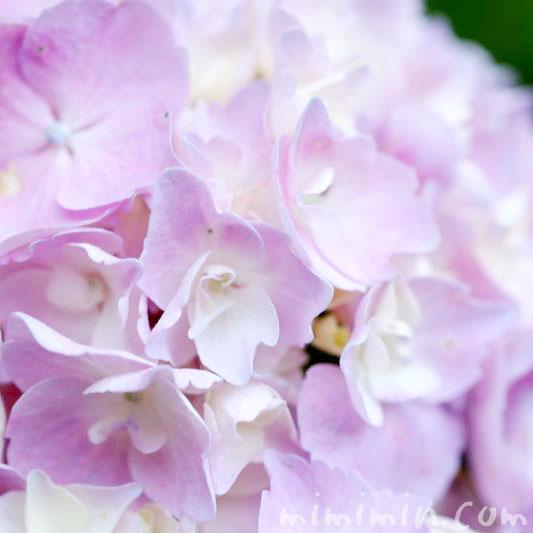 あじさいの花・薄紫の写真