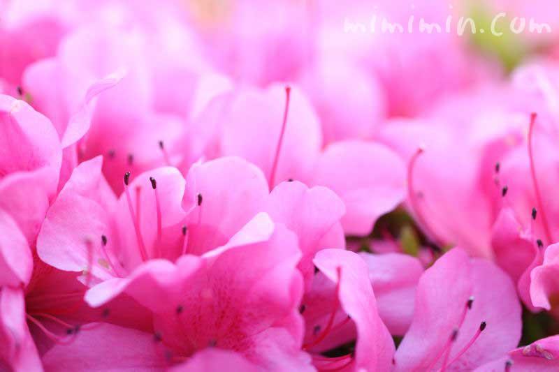 サツキの花言葉の画像