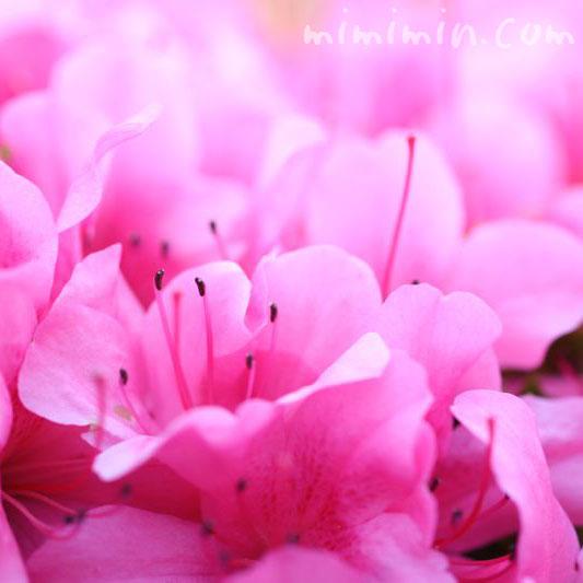 サツキの花・満開の写真