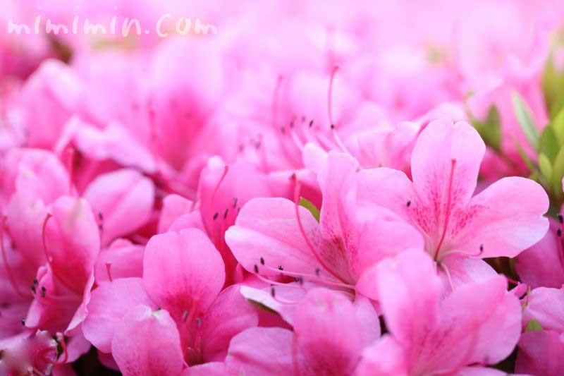 皐月の花の画像