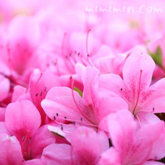 ピンクのサツキの花の写真