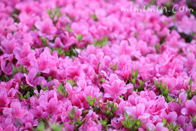 サツキツツジの花の画像