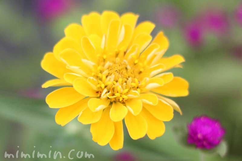 百日草の黄色の花の写真