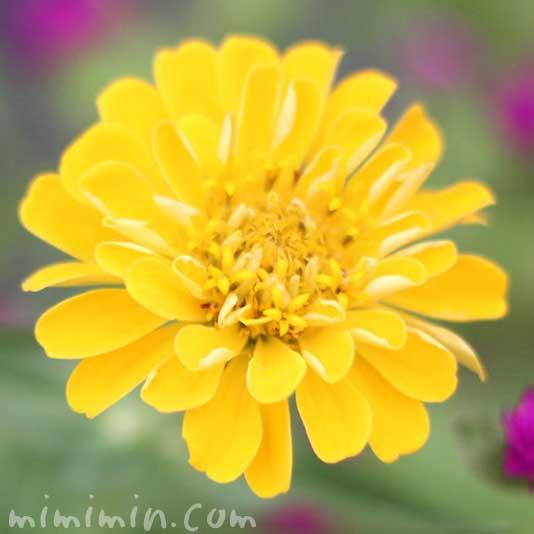 百日草の花・黄の画像