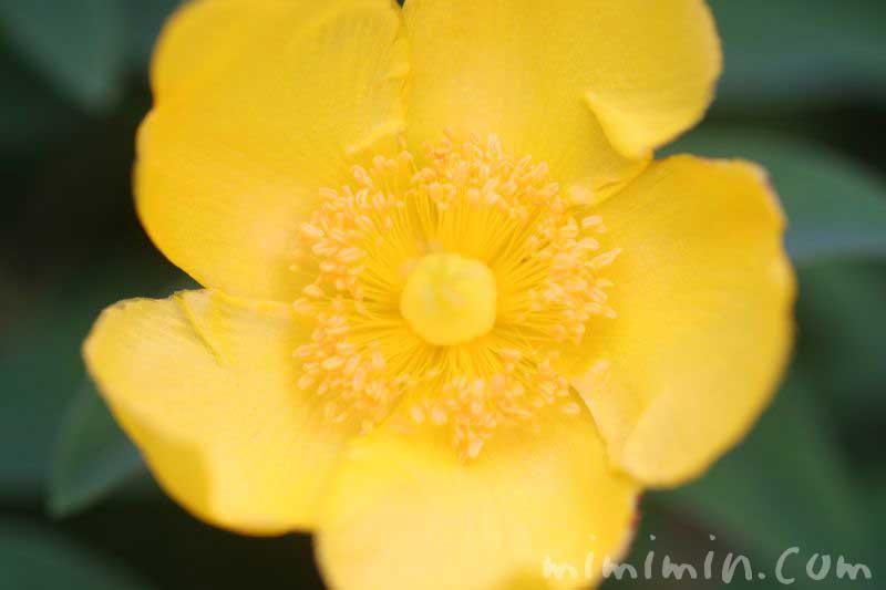 金糸梅の花言葉の画像