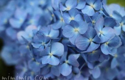 青いあじさいの画像