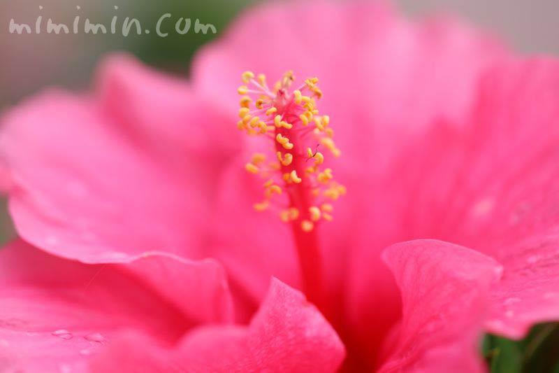 ハイビスカスの花 濃いピンク色の写真