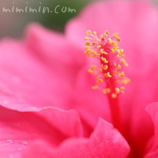 ハイビスカスの花 ピンク色の写真