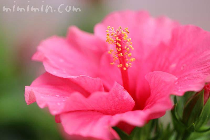 ハイビスカス ピンク色の画像