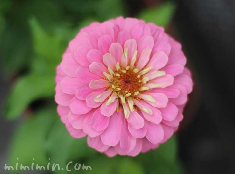 百日草(ピンク)の画像