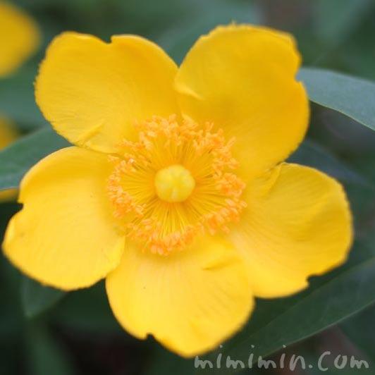 キンシバイの花の画像