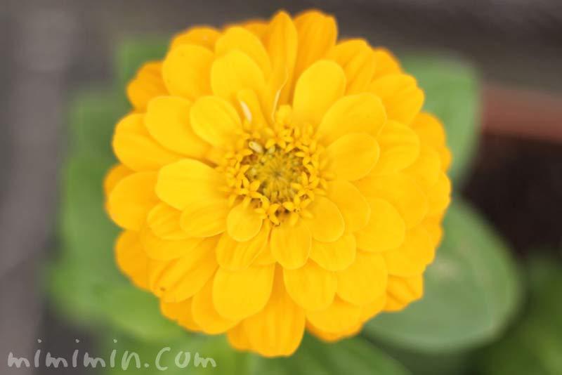 百日草(黄色)の写真