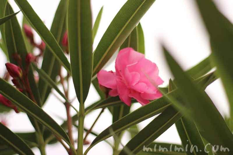 キョウチクトウの花の画像